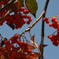 ナナカマド赤く色づき、午後の森も黄色がかり赤みさす。