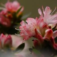 ツツジ (花 4421)