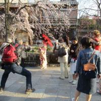 祇園の桜もこれからやなあ