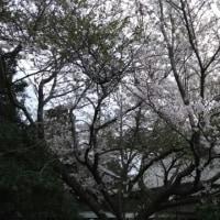桜撮ってだし🎵