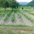 2017年7月17日:黒豆の中耕と土寄せをしました、
