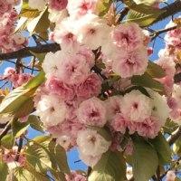 運河と八重桜と薔薇