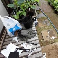 ギボウシ苗圃の整理作業に忙しい。