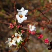 ミツマタの花 (17-324)
