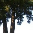 栃木県鹿沼市、御成橋町の杉です!!