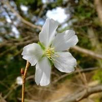 秋ですがアンズの花と桜花7品種