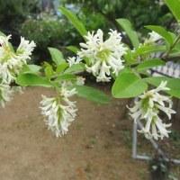 イボタノキ(水蝋の木・疣取の木)