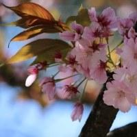 兼六園と福桜