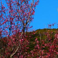 『春の色』 何桜