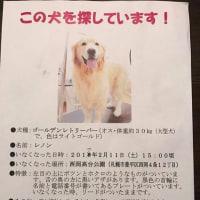 札幌市豊平区、迷子のゴールデン知りませんか?