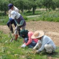 玉ネギ&ニンニクの収穫