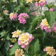 朴竜の野辺の花々を愛しむ 29