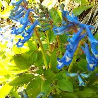 エゾエンゴサクが咲いたわ!