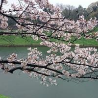 2017年4月9日の「桜」