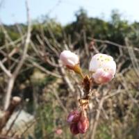 菜の花、サクランボが咲きました。