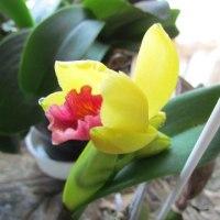カトレアミニ開花