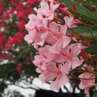 夏の花、キョウチクトウ(夾竹桃)