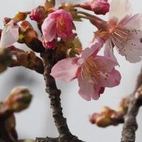 湘南からの春便り