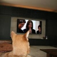 テレビを観る犬