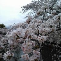 大垣でお花見♪(シャロン)