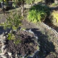 果樹の苗に肥料(牛糞・鶏糞)を投入です