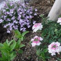 チェリーセージ 花手毬 巨大マーガレット・・・大地の花模様