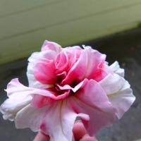 八重咲きのペチュニア