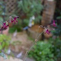 スエーデンアイビー&ぺラルゴニューム・シドイデスの鉢植え、そしてバラも少し