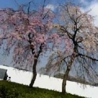 枝垂桜(しだれざくら)