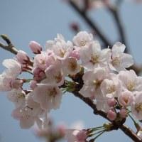 桜が気になって・・・