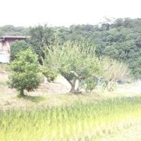 ハツキハツヒ(旧暦8月朔・西暦9月1日)