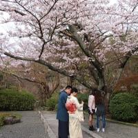 桜の鎌倉「報国寺」は、着物姿と外人観光客でいっぱいだった。