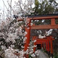 京の桜情報 平野神社 桃桜・扁桃(アーモンド)桜・十月桜