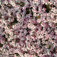 芝桜に 心が和む