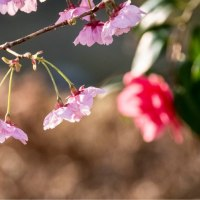 29/Mar 朝の桜とカワセミとメジロとダイヤモンド富士
