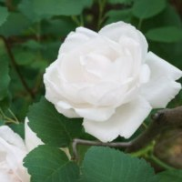 白薔薇いろいろ