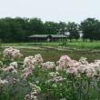 百合が原公園 百合の花