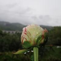 5月25日 恵みの雨・シャクヤク
