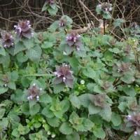 野に咲く春の可憐な花   ヒメオドリコソウ 笠を被った踊り子の花