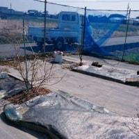 第2ブルーベリー畑の肥料やりに苦戦