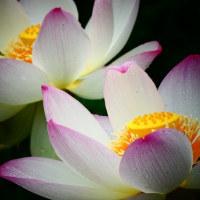 『蓮物語』 花名の由来