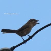 この賑やかな小鳥はモズでしょうか?