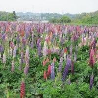 今年も綺麗に咲いた阿久比ルピナス