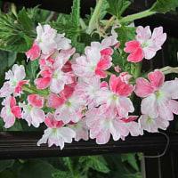 バーベナという花