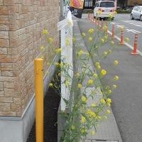 角の菜の花