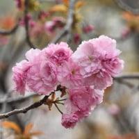 牡丹桜満開