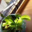 食虫植物あそび