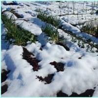 雪降りあとの菜園