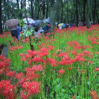 大雨の中の小江戸散策と彼岸花