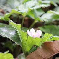 山岳点景:Spring ephemeral 春の妖精―二輪草ニリンソウ